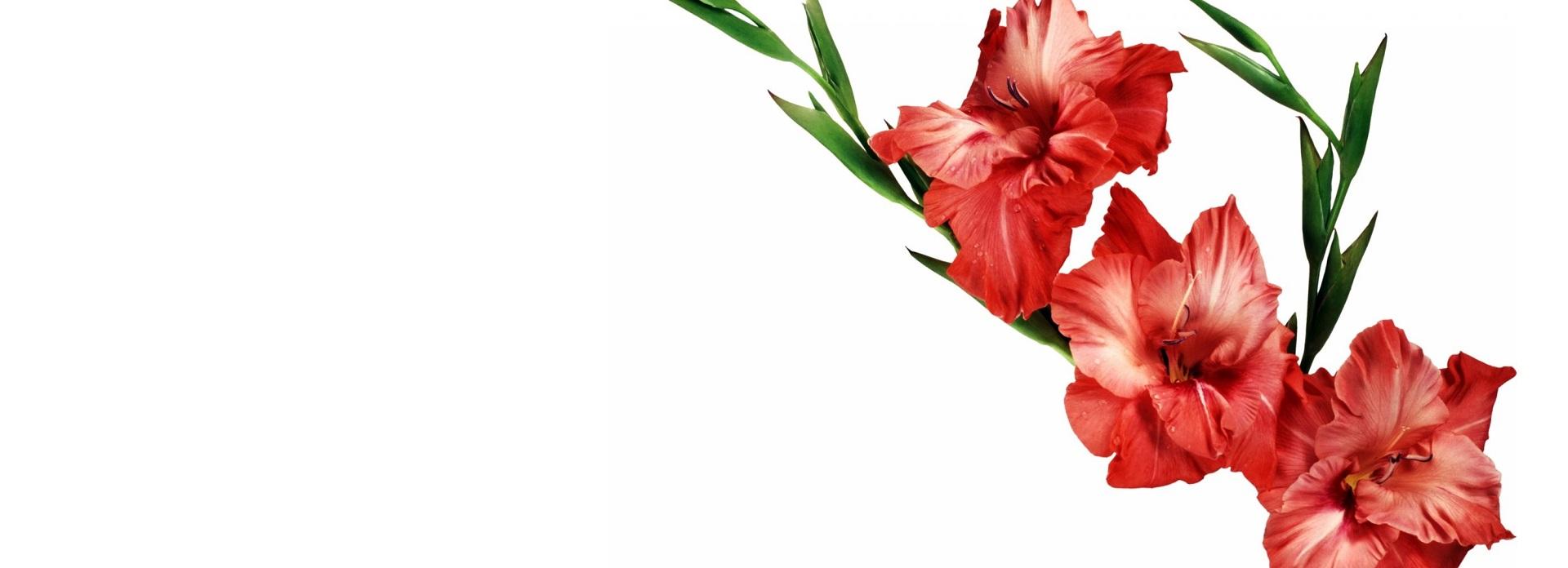 La Rosa y el Gladiolo por Lauren O. Thyme. Un cuento para reflexionar.
